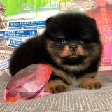vendas de lulu da pomerania preto mini macho Cardeal